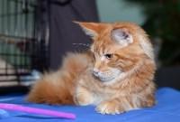 Выставка кошек в Туле, Фото: 15