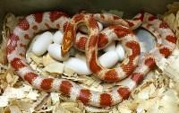 Кладки ужеобразных змей, 05.05.2016, Фото: 4