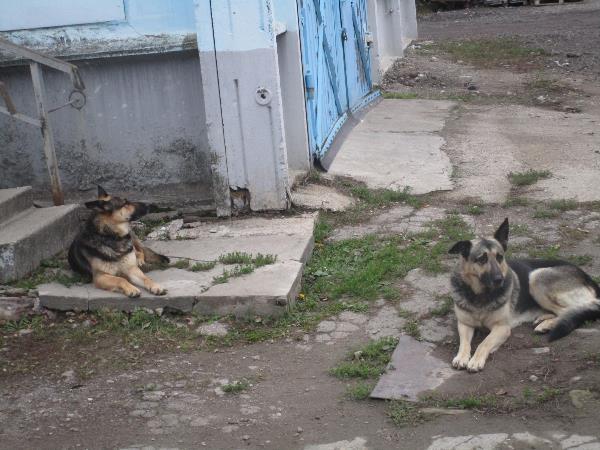 Дик и Динка охраняют территорию у моих родственников