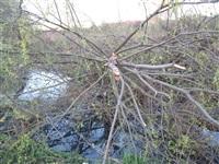 Спиленные деревья в ручье березовой рощи, Фото: 7