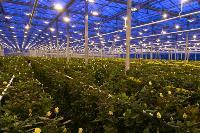Миллион разных роз: как устроена цветочная теплица, Фото: 4