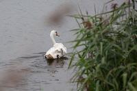 В Туле спасли лебедя с одним крылом, Фото: 4