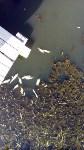 В реке Воронке отравили рыбу?, Фото: 2