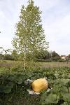 Гигантские тыквы из урожая семьи Колтыковых, Фото: 14