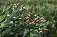 Тюльпаны , Фото: 40