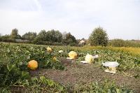 Гигантские тыквы из урожая семьи Колтыковых, Фото: 13