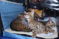 В Туле прошла международная выставка кошек, Фото: 21