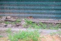 Крысы на троллейбусном кольце, 02.06.2016, Фото: 8