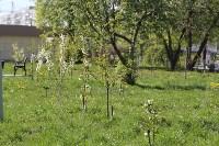 В сквере «Тульское чаепитие» зацвела вишня, Фото: 4