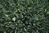 Тюльпаны , Фото: 5