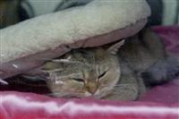 В Туле прошла международная выставка кошек «Зимнее конфетти», Фото: 14