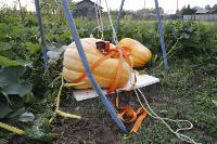 Гигантские тыквы из урожая семьи Колтыковых, Фото: 26