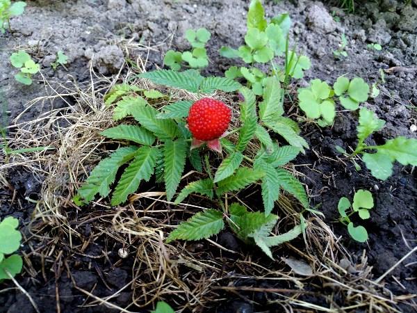Ежемалина. Посадили маленький саженец весной и уже есть ягоды