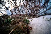 В Туле распустились подснежники, Фото: 18