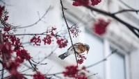 Дрозды-рябинники в Туле, Фото: 5