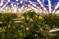 Миллион разных роз: как устроена цветочная теплица, Фото: 9