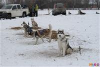 Куликово поле. Гонки на собачьих упряжках., Фото: 105