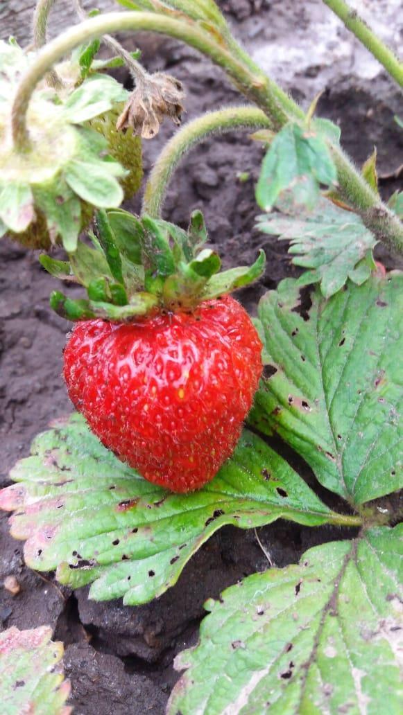 Первая ягодка