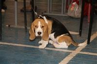 В Туле прошла всероссийская выставка собак, Фото: 30