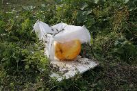 Гигантские тыквы из урожая семьи Колтыковых, Фото: 3