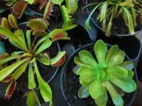Укротитель хищных растений Сергей Куницын, Фото: 13