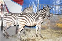 Цирк огромных зверей. Тула, Осиновая гора, 1, Фото: 9