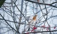 Дрозды-рябинники в Туле, Фото: 4
