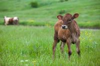 Коровы, свиньи и горы навоза в деревне Кукуй: Роспотреб требует запрета деятельности токсичной фермы, Фото: 17