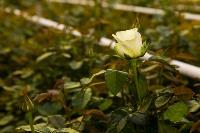 Миллион разных роз: как устроена цветочная теплица, Фото: 24