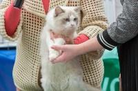 Выставка кошек в Туле, Фото: 13