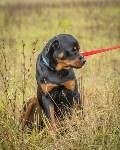 Международная выставка собак, Барсучок. 5.09.2015, Фото: 18