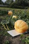 Гигантские тыквы из урожая семьи Колтыковых, Фото: 16