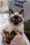 Кошки породы Скиф-той-боб, Фото: 9