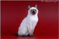 Кошки породы Скиф-той-боб, Фото: 3