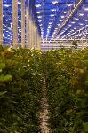 Миллион разных роз: как устроена цветочная теплица, Фото: 10
