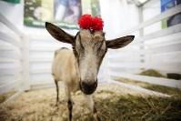 Выставка коз в Туле, Фото: 4