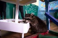Тульское Шоу ручных енотов: «Из-за карантина нам нужна помощь туляков», Фото: 39
