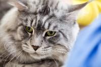 Выставка кошек. 4 и 5 апреля 2015 года в ГКЗ., Фото: 12