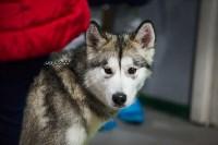 Выставка собак в Туле, Фото: 110