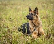 Международная выставка собак, Барсучок. 5.09.2015, Фото: 5