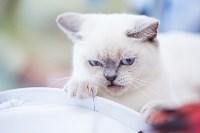 """Выставка """"Пряничные кошки"""". 15-16 августа 2015 года., Фото: 50"""