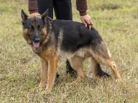 Международная выставка собак, Барсучок. 5.09.2015, Фото: 63