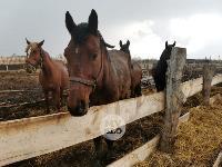 Чернский район, умерли 150 коров, Фото: 13