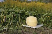 Гигантские тыквы из урожая семьи Колтыковых, Фото: 6