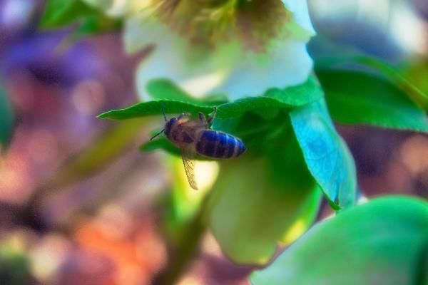 пчела обоняет цветок