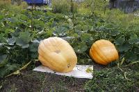 Гигантские тыквы из урожая семьи Колтыковых, Фото: 11