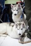 Выставка собак в Туле, Фото: 19