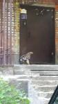 Нападение орла на подъезд, Фото: 2