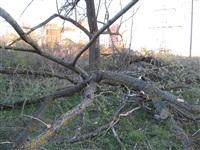 Спиленные деревья в ручье березовой рощи, Фото: 1