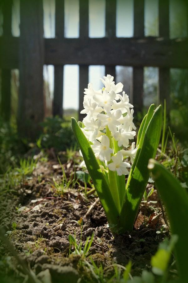 То что первым расцветает у нас на даче